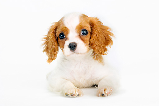 PUP 10 MR0003 01 © Kimball Stock Cavalier King Charles Spaniel Puppy Laying On White Seamless Studio