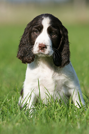 PUP 10 NR0002 01 © Kimball Stock English Springer Spaniel Puppy