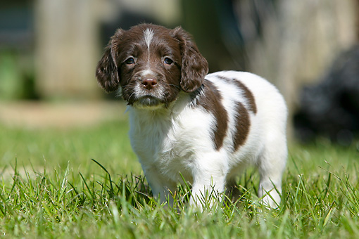 PUP 10 NR0005 01 © Kimball Stock English Springer Spaniel Puppy