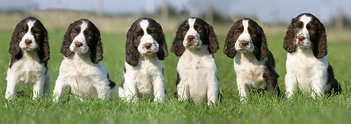PUP 10 NR0007 01 © Kimball Stock English Springer Spaniel Puppies