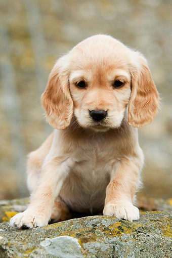 PUP 10 NR0012 01 © Kimball Stock English Cocker Spaniel Puppy