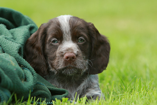 PUP 10 NR0023 01 © Kimball Stock English Springer Spaniel Puppy Laying In Grass With Green Blanket