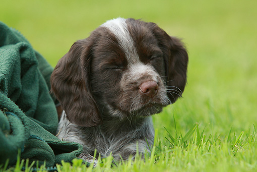 PUP 10 NR0024 01 © Kimball Stock English Springer Spaniel Puppy Laying In Grass Eyes Closed With Green Blanket