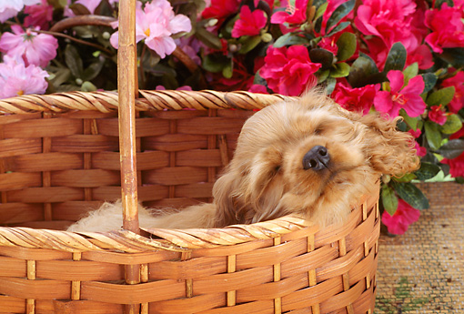 PUP 10 RC0001 01 © Kimball Stock Head Shot Of Red Cocker Spaniel Puppy Sleeping In Basket By Red And Pink Flowers