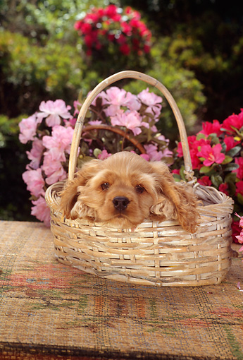 PUP 10 RC0002 01 © Kimball Stock Head Shot Of Red Cocker Spaniel Puppy Laying In Basket By Red And Pink Flowers