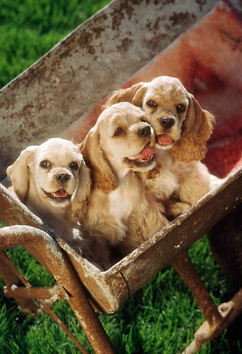 PUP 10 RC0003 01 © Kimball Stock Three Cocker Spaniel Puppies Sitting In Bucket On Grass