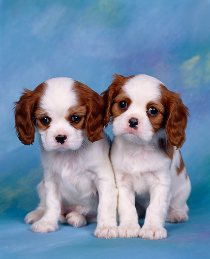PUP 10 RK0010 03 © Kimball Stock Two Cavalier King Charles Spaniels Sitting Studio