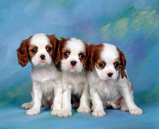 PUP 10 RK0013 07 © Kimball Stock Three Cavalier King Charles Spaniel Puppies Sitting Facing Camera Studio