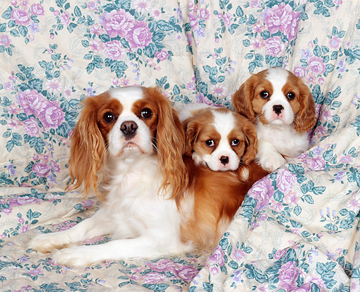 PUP 10 RK0022 10 © Kimball Stock Cavalier King Charles Spaniel Mom And Two Puppies Laying On Floral Print Sheet