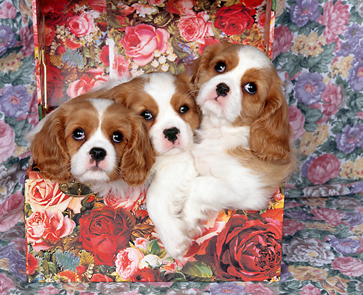 PUP 10 RK0027 04 © Kimball Stock Three Cavalier King Charles Spaniel Puppies Sitting In Floral-Print Box Studio