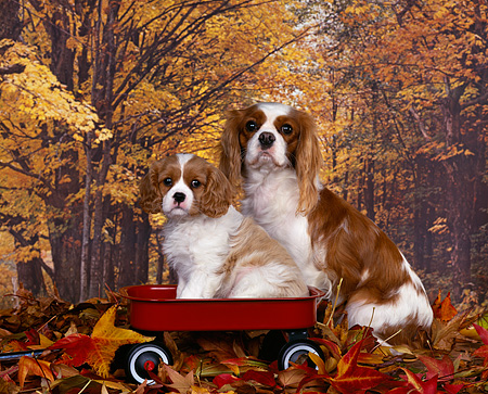 PUP 10 RK0028 03 © Kimball Stock Cavalier King Charles Spaniel Mom And Pup In Red Wagon Fall Colored Leaves And Background