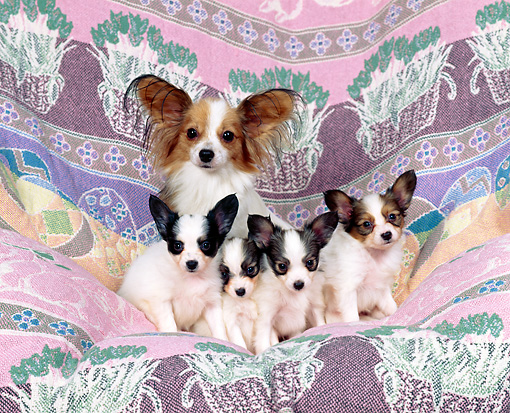 PUP 10 RK0031 13 © Kimball Stock Papillon Mother Sitting With Four Puppies On Pink Blanket Facing Camera