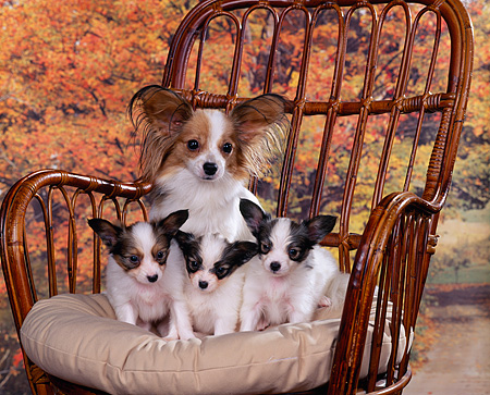 PUP 10 RK0032 06 © Kimball Stock Papillon Mother Sitting With Three Puppies On Chair With Pillow Fall Scene Background