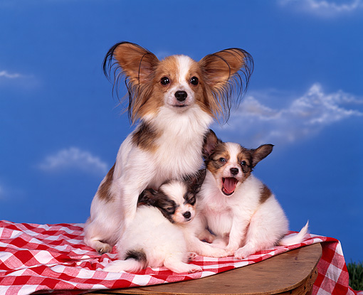 PUP 10 RK0034 06 © Kimball Stock Papillon Mother Sitting With Two Puppies On Top Of Picnic Basket And Cloth Blue Clouds Background