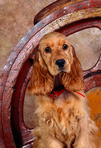 PUP 10 RK0039 01 © Kimball Stock Cocker Spaniel Puppy Sitting And Facing Forward By Wheel