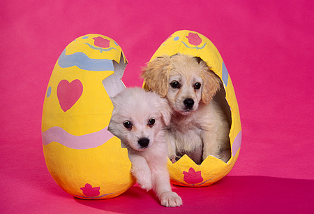PUP 10 RK0048 03 © Kimball Stock Cocker Spaniel Puppies Sitting In Easter Eggs Pink Seamless