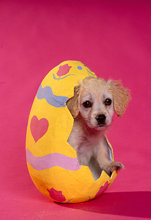 PUP 10 RK0051 03 © Kimball Stock Cocker Spaniel Puppy Sitting Inside Easter Egg Pink Seamless