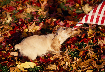 PUP 10 RK0054 03 © Kimball Stock English Cocker Spaniel Puppy Pulling On Cloth On Fall Colored Leaves