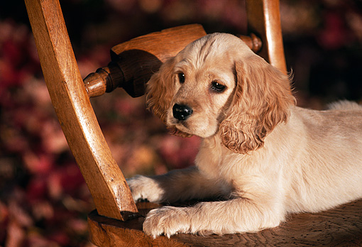 PUP 10 RK0057 03 © Kimball Stock English Cocker Spaniel Puppy Laying On Chair Fall Color Leaves