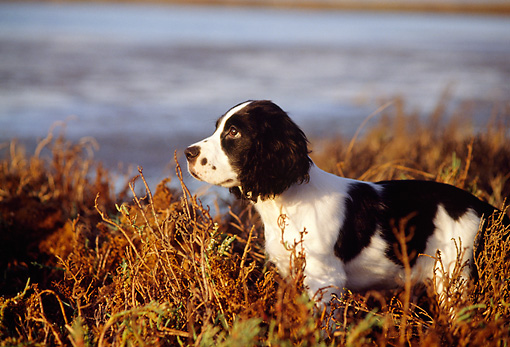 PUP 10 RK0063 01 © Kimball Stock Profile Of English Springer Spaniel Puppy Standing At Marsh