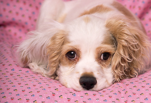 PUP 10 RK0082 18 © Kimball Stock Head Shot Of Cocker Spaniel Puppy Laying On Pink Blanket Facing Camera