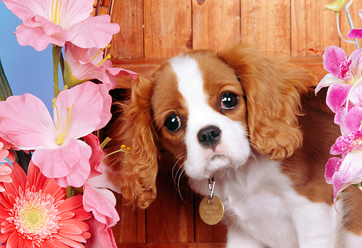 PUP 10 RK0094 07 © Kimball Stock Head Shot Of Cavalier King Charles Spaniel Puppy Sitting On Wooden Boat By Flowers Studio