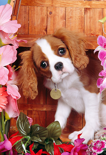 PUP 10 RK0094 09 © Kimball Stock Head Shot Of Cavalier King Charles Spaniel Puppy Sitting On Wooden Boat By Flowers Studio