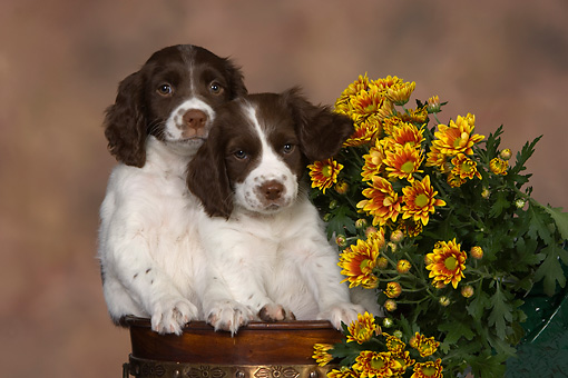 PUP 10 RK0103 01 © Kimball Stock Two English Springer Spaniel Puppies In Flower Pot By Flowers Studio