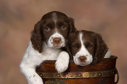 PUP 10 RK0104 01 © Kimball Stock Two English Springer Spaniel Puppies In Flower Pot Studio