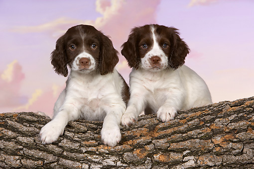 PUP 10 RK0105 01 © Kimball Stock Two English Springer Spaniel Puppies Laying On Log Studio