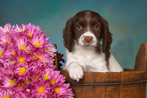 PUP 10 RK0107 01 © Kimball Stock English Springer Spaniel Puppy Sitting In Bucket By Flowers Studio