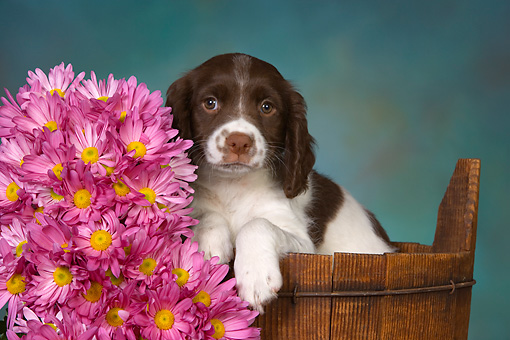 PUP 10 RK0108 01 © Kimball Stock English Springer Spaniel Puppy Sitting In Bucket By Flowers Studio