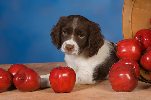 PUP 10 RK0109 01 © Kimball Stock English Springer Spaniel Laying By Basket Of Fallen Apples Studio