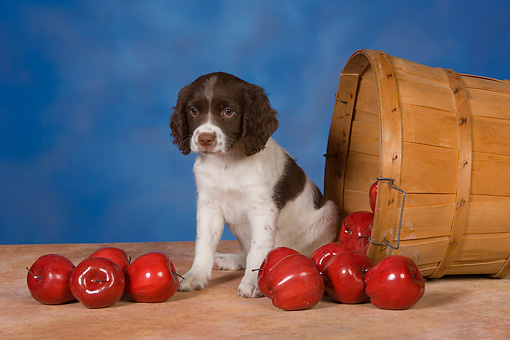 PUP 10 RK0110 01 © Kimball Stock English Springer Spaniel Sitting By Basket Of Fallen Apples Studio