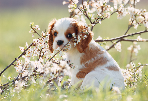 PUP 10 SS0001 01 © Kimball Stock Cavalier King Charles Spaniel Puppy Sitting On Grass By Blossoms