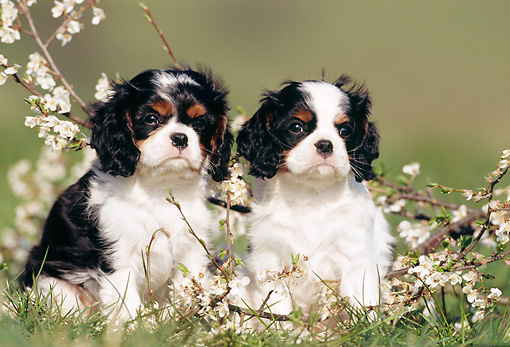 PUP 10 SS0003 01 © Kimball Stock Two Cavalier King Charles Spaniel Puppies Sitting On Grass By Blossoms