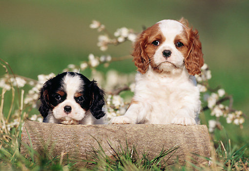 PUP 10 SS0004 01 © Kimball Stock Two Cavalier King Charles Spaniel Puppies Sitting On Grass By Log And Blossoms