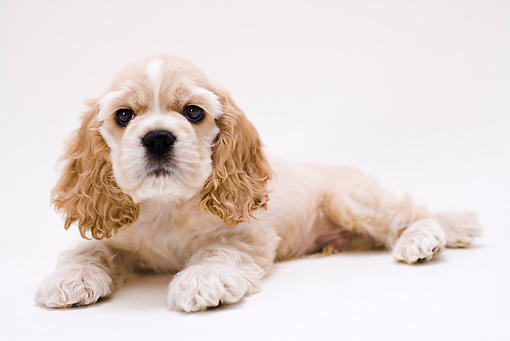 PUP 10 YT0002 01 © Kimball Stock American Cocker Spaniel Puppy Laying On White Seamless