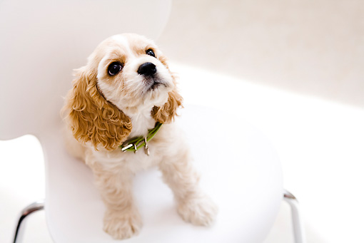 PUP 10 YT0003 01 © Kimball Stock American Cocker Spaniel Puppy Sitting On White Chair