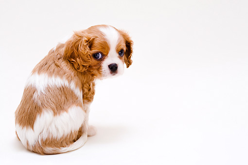PUP 10 YT0005 01 © Kimball Stock Cavalier King Charles Spaniel Puppy Sitting On White Seamless
