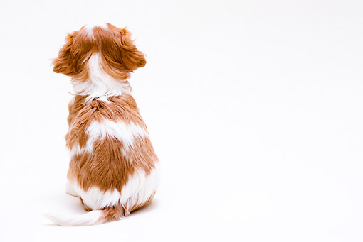 PUP 10 YT0006 01 © Kimball Stock Cavalier King Charles Spaniel Puppy Sitting On White Seamless