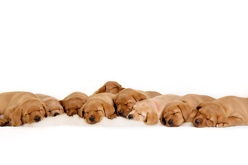 PUP 11 AC0001 01 © Kimball Stock Labrador Retriever Puppies Laying On White Rug In Studio