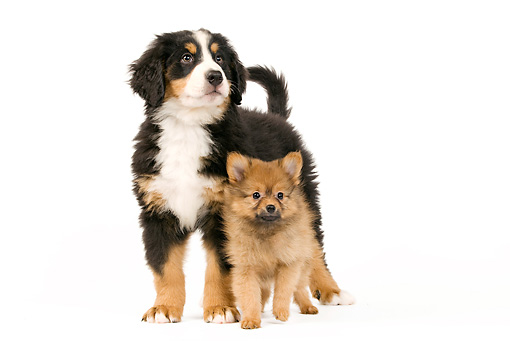 PUP 11 JE0002 01 © Kimball Stock Bernese Mountain Dog And Dwarf Spitz Puppies Standing On White Seamless