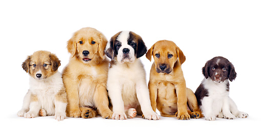 PUP 11 RK0001 04 © Kimball Stock A Group Of Puppies Sitting Closely Together Facing Camera On White Seamless
