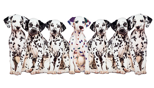 PUP 11 RK0002 05 © Kimball Stock Group Of Black & White Dalmations And One Colorful Sitting White Seamless Background