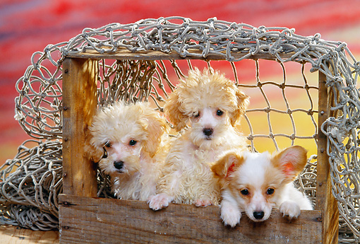 PUP 11 RK0047 07 © Kimball Stock Miniature Poodles And Papillon Puppies In Crate With Net