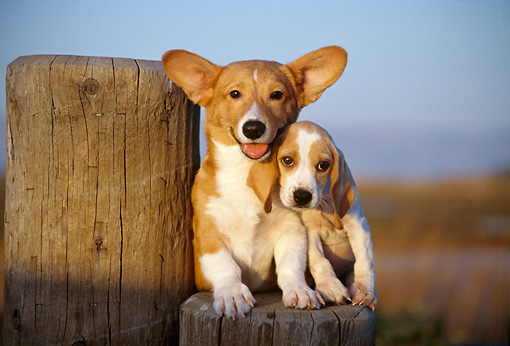 PUP 11 RK0054 06 © Kimball Stock Welsh Corgis And Beagle Puppies Sitting On Wooden Stump At Dusk