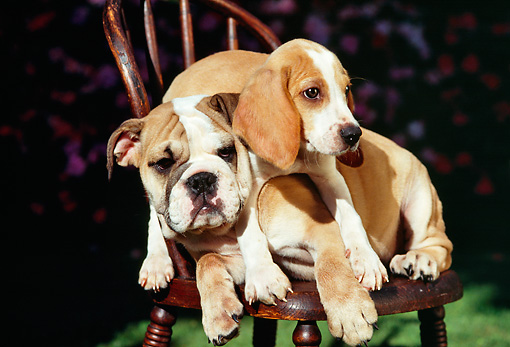 PUP 11 RK0055 01 © Kimball Stock Beagle Puppy Laying On English Bulldog Puppy Laying On Chair