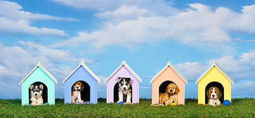 PUP 11 RK0087 05 © Kimball Stock Group Of Puppies In Dog Houses On Grass