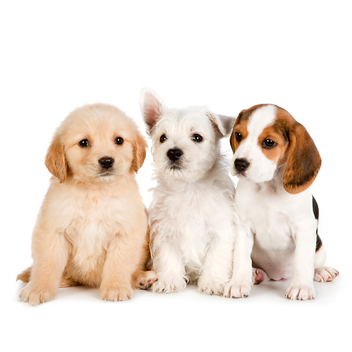PUP 11 RK0159 01 © Kimball Stock Golden Retriever, West Highland Terrier, And Beagle Puppies Sitting On White Seamless